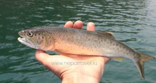 Indian trout